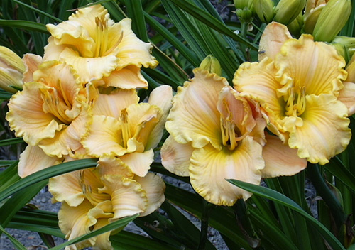 Photo from the A La Carte Daylilies garden