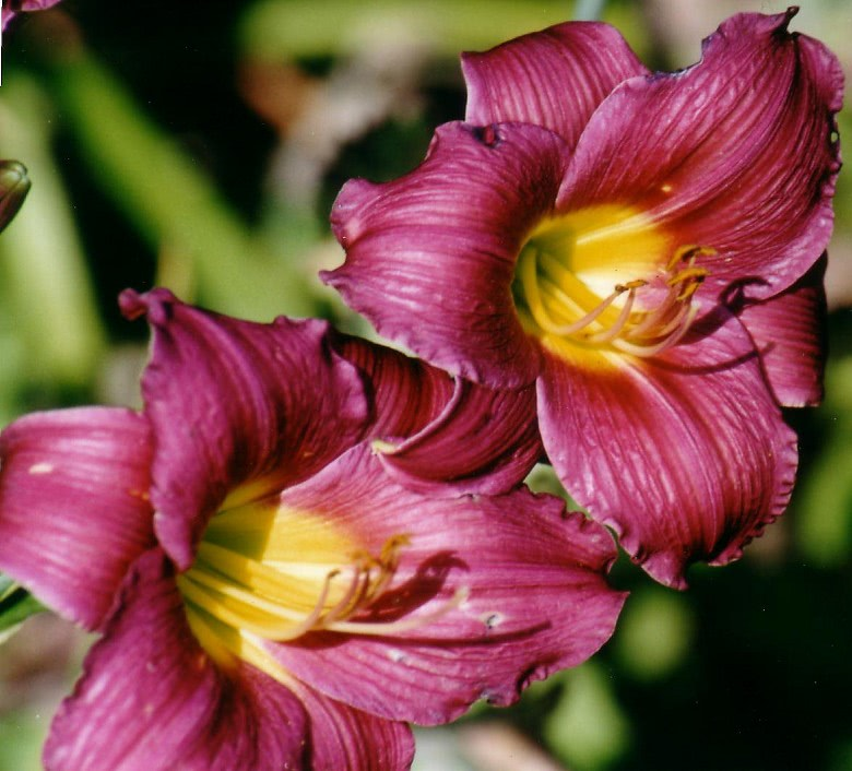 Hemerocallis Barbary Corsair in full bloom.