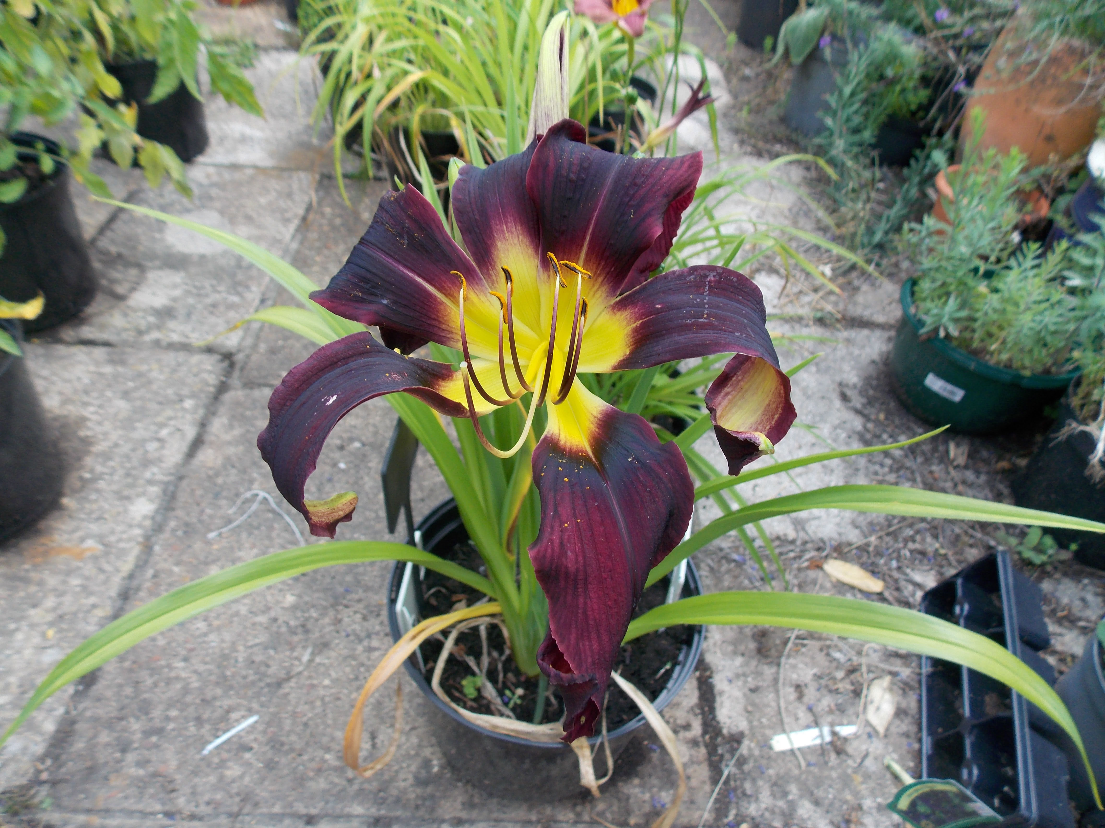 Hemerocallis Black Ice in full bloom.
