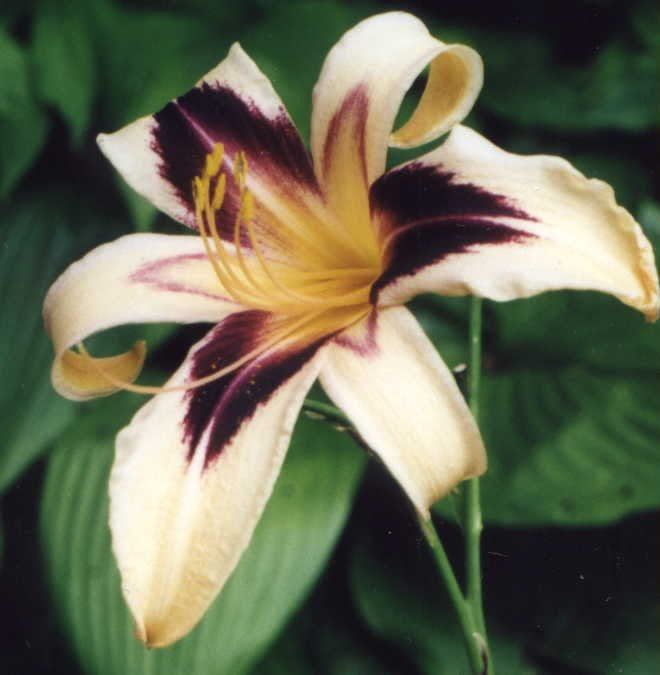 Hemerocallis Cleopatra in full bloom.