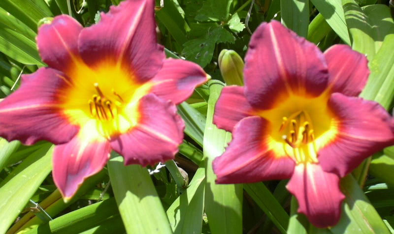 Hemerocallis Little Red Hen in full bloom.